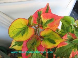 Chameleon Plant- Hauttunyia Cordata