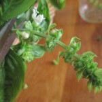 Snip off basil blossoms