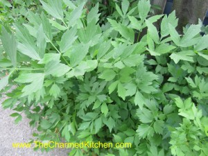 "Lovage- The ""celery"" herb"